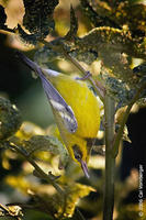 Image of: Vermivora chrysoptera (golden-winged warbler), Vermivora pinus (blue-winged warbler)
