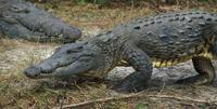 Image of: Crocodylus acutus (American crocodile)