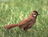 White-browed Laughingthrush - Garrulax sannio