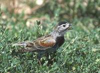 McCown's Longspur (Calcarius mccownii) photo