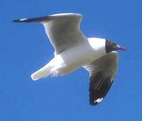 adult Brown-headed Gull in flight