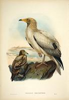 Richter after Wolf Egyptian Vulture (Neophron Percnopterus)