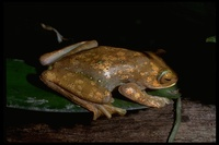 : Boophis albilabris; White Giant Lipped Tree Frog