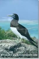 ...Image 00881, Brown booby. Rose Atoll National Wildlife Sanctuary, American Samoa, USA, Sula leuc