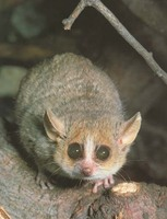 photograph of a mouse lemur