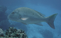 Lutjanus analis, Mutton snapper: fisheries, gamefish, aquarium
