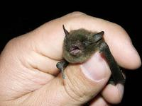 Image of: Myotis sodalis (Indiana bat)