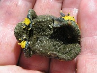 Bombina variegata - Yellow-Bellied Toad