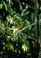 Image of: Eumomota superciliosa (turquoise-browed motmot)