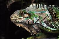 Image of: Iguana iguana (common green iguana)