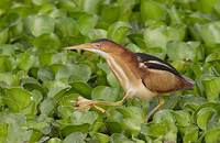 Least Bittern (Ixobrychus exilis) photo