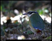 Indian Pitta - Pitta brachyura