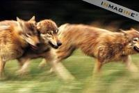 Gray or Timber Wolves running (Canis lupus) photo