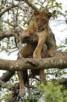 ...Tree climbing lion ( panthera leo ) , Ishasha sector in Queen Elizabeth National Park , Uganda s