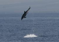Bottlenose dolphin leaping, presumably trying to remove two remoras (c) D.L. Webster.