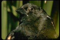 : Agelaius phoeniceus; Red-winged Blackbird