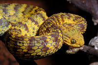 : Atheris squamigera; Variable Bushviper