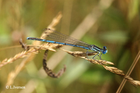 : Platycnemis pennipes; White-legged Damselfly