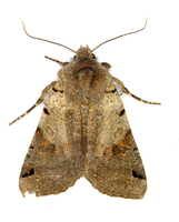Agrochola litura - Brown-spot Pinion
