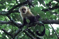 photograph of a white-faced capuchin