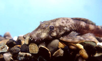Ancistrus dolichopterus, Bushymouth catfish: aquarium