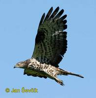 Pernis apivorus - Honey Buzzard