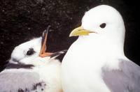 Rissa brevirostris - Red-legged Kittiwake