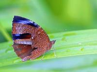 ...Image of: Nymphalidae (admirals, anglewings, brush-footed butterflies, checker-spots, crescent-s