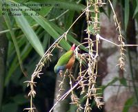 Pin-tailed Parrotfinch - Erythrura prasina