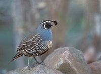 California Quail (Callipepla californica) photo