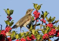 Redwing (Turdus iliacus) photo