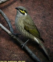 Yellow-faced Honeyeater - Lichenostomus chrysops
