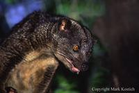 Two Spotted Palm Civet