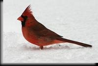 Northern Cardinal, Dobbs Ferry, NY