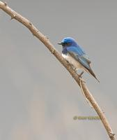 Blue-and-white flycatcher C20D 02742.jpg