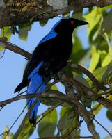 Asian Fairy Bluebird - Male