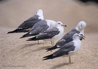 괭이갈매기 Black-Tailed Gull Larus crassirostris