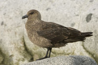 : Catharacta maccormicki; South Polar Skua