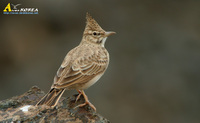 Fig. 5. Crested Lark : 뿔종다리