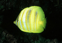 Chaetodon rainfordi, Rainford's butterflyfish: aquarium