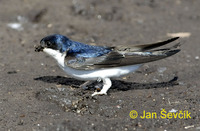 Delichon urbica - Northern House-Martin