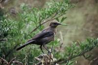 Molothrus ater - Brown-headed Cowbird