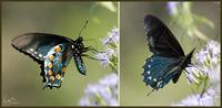Image of: Battus philenor (pipevine swallowtail)