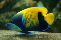 Pomacanthus navarchus - Blue Girdled Angelfish