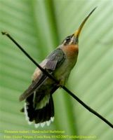 Band-tailed Barbthroat - Threnetes ruckeri