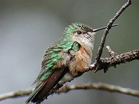 Broad-tailed Hummingbird - Selasphorus platycercus