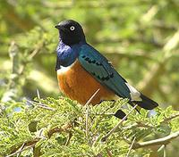 Superb Starling Lamprotornis superbus
