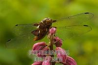Broad bodied Chaser ( Libellula depressa ) on a Dictamnus , Germany stock photo