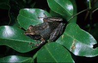 : Boophis occidentalis; Western White Lipped Treefrog