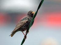 흰점찌르레기 Sturnus vulgaris | common starling